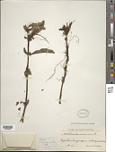 view Cuscuta jalapensis Schltdl. digital asset number 1
