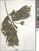view Palicourea urceolata (Steyerm.) Delprete & J.H. Kirkbr. digital asset number 1