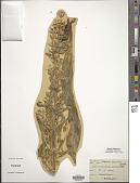 view Swertia radiata (Kellogg) Kuntze digital asset number 1
