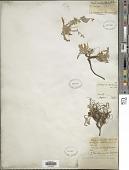 view Astragalus testiculatus Pall. digital asset number 1