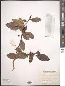 view Ficus adenosperma Miq. digital asset number 1