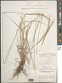 view Trachypogon plumosus (Humb. & Bonpl.) Nees digital asset number 1