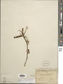 view Mimosa verrucosa Benth. digital asset number 1