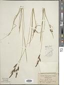 view Carex aperta Boott digital asset number 1