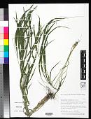 view Brachypodium sylvaticum (Huds.) P. Beauv. digital asset number 1