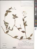 view Gibasis pellucida (M. Martens & Galeotti) D.R. Hunt digital asset number 1