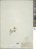 view Schizanthus hookeri Gillies ex Graham digital asset number 1