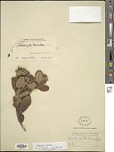 view Rhodomyrtus tomentosa (Aiton) Hassk. digital asset number 1