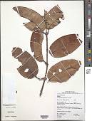 view Salacia impressifolia (Miers) A.C. Sm. digital asset number 1