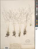 view Muhlenbergia torreyi (Kunth) Hitchc. ex Bush digital asset number 1