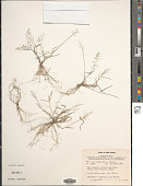 view Eragrostis tenella (L.) P. Beauv. ex Roem. & Schult. digital asset number 1