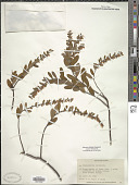 view Chamaedaphne calyculata (L.) Moench digital asset number 1
