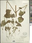 view Milleria quinqueflora L. digital asset number 1
