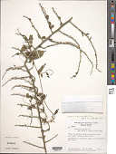 view Byttneria microphylla Jacq. digital asset number 1