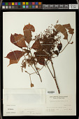 view Bischofia trifoliata digital asset number 1