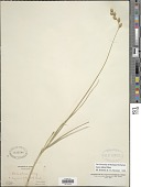 view Carex silicea Olney digital asset number 1