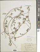 view Hosackia gracilis Benth. digital asset number 1