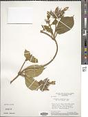 view Schubertia grandiflora Mart. digital asset number 1
