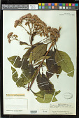 view Eupatorium fistulosum Barratt digital asset number 1