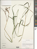view Elymus glaucus Buckley digital asset number 1