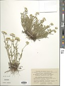 view Achillea leptophylla M. Bieb. digital asset number 1