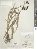 view Scirpus atrovirens Willd. digital asset number 1