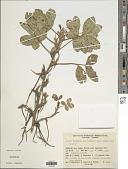 view Arachis hypogaea var. fastigiata Krapov. digital asset number 1