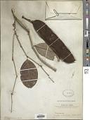 view Lonchocarpus sericeus (Poir.) Kunth ex DC. digital asset number 1