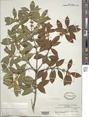 view Osmanthus aquifolium var. myrtifolius (G. Nicholson) G. Nicholson digital asset number 1