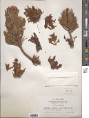view Arceuthobium campylopodum f. cyanocarpum (A. Nelson) L.S. Gill digital asset number 1