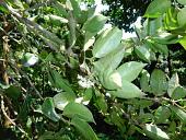 view Cassipourea guianensis Aubl. digital asset number 1