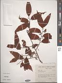 view Dulacia guianensis (Engl.) Kuntze digital asset number 1