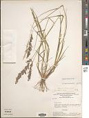 view Eragrostis ciliaris (L.) Aiton digital asset number 1