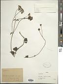 view Chromolaena ascendens (Sch. Bip. ex Baker) R.M. King & H. Rob. digital asset number 1