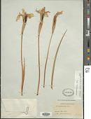 view Iris missouriensis Nutt. digital asset number 1