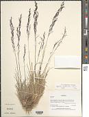 view Agrostis leptotricha É. Desv. in Gay digital asset number 1