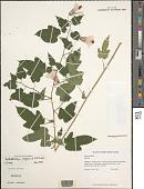 view Kosteletzkya virginica (L.) C. Presl ex A. Gray digital asset number 1