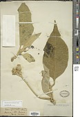 view Solanum mauritianum Scop. digital asset number 1