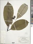 view Palicourea jenmanii (Wernham) Delprete & J.H. Kirkbr. digital asset number 1