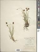 view Carex haydeniana Olney digital asset number 1