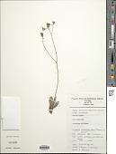 view Hieracium mapirense Britton digital asset number 1