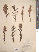 view Castilleja rhexifolia Rydb. digital asset number 1