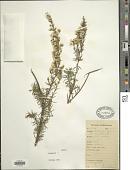 view Baccharis coridifolia DC. digital asset number 1