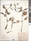 view Calceolaria tripartita Ruiz & Pav. digital asset number 1