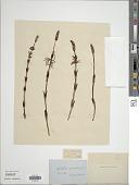 view Equisetum sylvaticum L. digital asset number 1