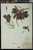 view Sapium haematospermum Müll. Arg. digital asset number 1