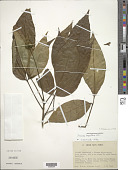 view Ticorea longiflora digital asset number 1