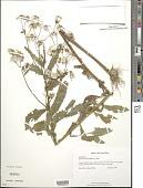 view Erechtites hieracifolius (L.) Raf. ex DC. digital asset number 1