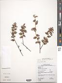 view Melochia spicata (L.) Fryxell s.l. digital asset number 1