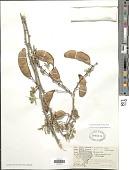 view Senegalia roemeriana (Scheele) Britton & Rose digital asset number 1